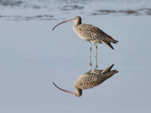 An Eastern Curlew